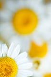 Daisy flower dof Royalty Free Stock Photography