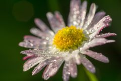 Daisy flower with drops of dew royalty free stock photography