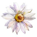 Daisy Flower Elemento isolado da ilustração da margarida Grupo da ilustração do fundo da aquarela ilustração royalty free