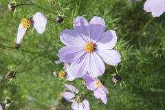 Daisy Flower em Sabah imagens de stock royalty free