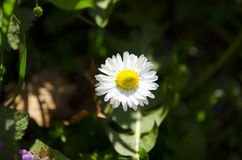 Daisy flower enjoys the sun. Daisy flower in full beauty absorbs the rays of the morning sun and spring Stock Images