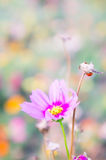 The daisy flower face to sunrise in field Stock Image