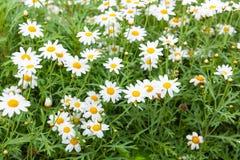 Daisy flower feild in garden Stock Photo