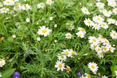 Daisy flower feild in garden Royalty Free Stock Photography