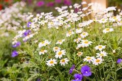 Daisy flower feild in garden Stock Images