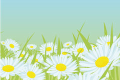 Daisy flower field. On blue background Royalty Free Stock Images