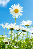 Daisy flower field against blue sky stock image