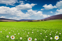 Daisy flower field Stock Image