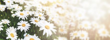 daisy flower field royalty free stock photos
