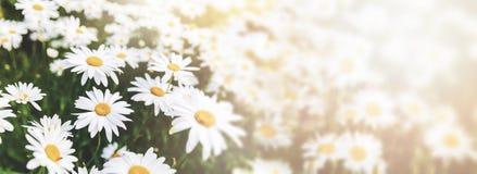 Daisy flower field. Copy space royalty free stock photos