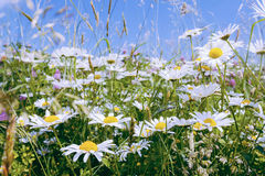 Daisy flower field Stock Photography