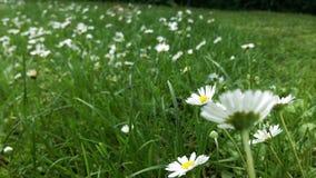 Daisy flower field in the garden stock image