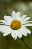 Daisy flower. In the field natural background Royalty Free Stock Photo