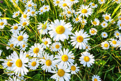 Daisy flower field stock image