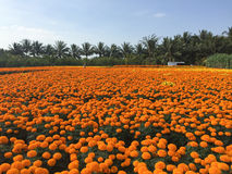 Daisy flower fields in Cho Lach village, Ben Tre, Vietnam Royalty Free Stock Photos