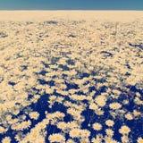 Daisy Flower Fields Instagram Style Stock Photo