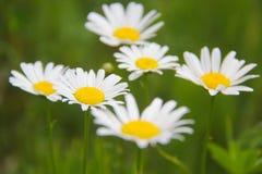 Daisy flower Royalty Free Stock Image