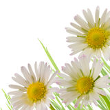 Daisy flower, floral design spring season Royalty Free Stock Photo