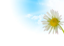 Daisy flower, floral design spring season. White and yellow flower and sky whit sun on a white background - border top of a page Stock Photography