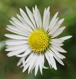 Daisy flower flowering meadow. Daisy blossomed in the spring sun Stock Image