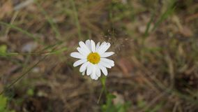 Daisy flower in the forest royalty free stock photo