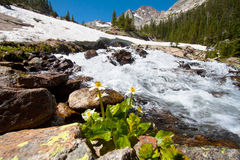 Daisy flower in front of the glacier Stock Photography