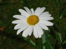 Daisy Flower. In the garden stock photography