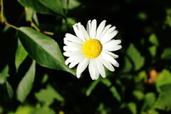 Daisy flower in the garden stock image