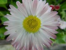 Daisy, flower, garden, lawn, meadow, outdoors, bouquet, summer ,, plants, beauty, nature ,, petals royalty free stock photos