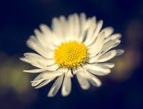 Daisy flower in garden Stock Images