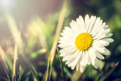Daisy flower in garden Royalty Free Stock Photography