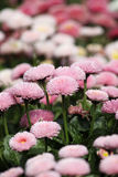 Daisy flower garden Stock Photo
