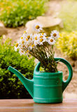 Daisy flower in garden watering can royalty free stock photography