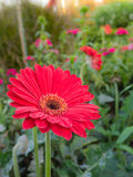 Daisy a flower ,gerbera Stock Photography