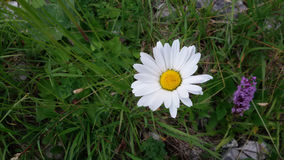 Daisy flower. A daisy flower in the grass Royalty Free Stock Photo