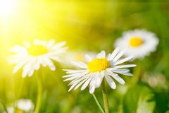 Daisy flower in grass Stock Photos