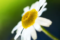 Daisy flower on green background Stock Images