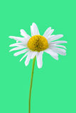 Daisy flower on a green background Stock Photos
