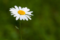 Daisy flower on the green blurred background stock images