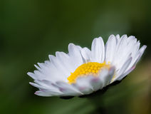 Daisy. Flower on green boheh Stock Image