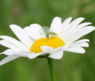 Daisy flower with green bug Royalty Free Stock Images