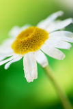 Daisy flower on green Royalty Free Stock Image
