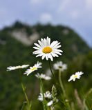 Daisy flower. In a green field Royalty Free Stock Image