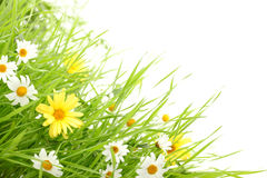 Daisy flower in green grass Royalty Free Stock Photo