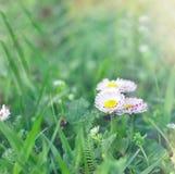 Daisy flower in green grass Stock Photo