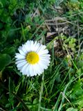 A daisy flower in green grasses. A daisy flower among green grasses in nature royalty free stock photography