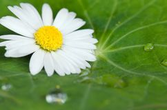 Daisy flower on green leaf Stock Images