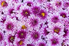 Daisy flower and green leaf background in flower garden at sunny summer or spring day for beauty decoration and agriculture design.  royalty free stock images