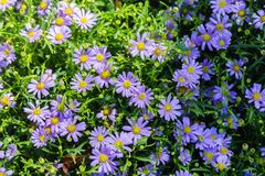 Daisy flower and green leaf background in flower garden at sunny summer or spring day for beauty decoration and agriculture design.  stock photo
