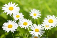 Daisy flower on green meadow Stock Photos